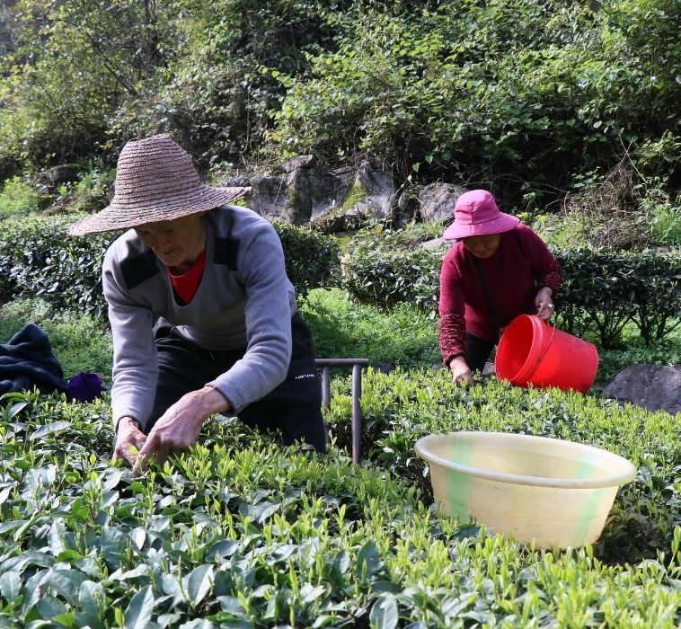 THE 2021 SPRING TEA HARVEST